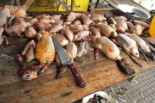 بیچاره پرندگان میانکاله؛ هم می میرند هم شکار می شوند ، خطر برای مردم