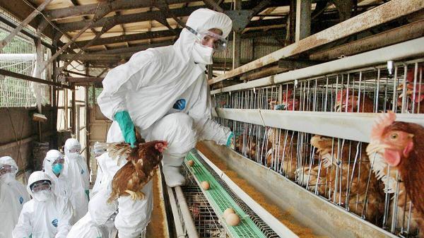 خبرنگاران ژاپن 6 میلیون مرغ مبتلا به آنفلوانزای پرندگان را معدوم کرد
